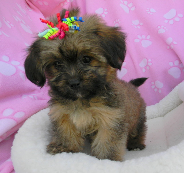 puppies for sale puggle yorkie goldendoodle labradoodle